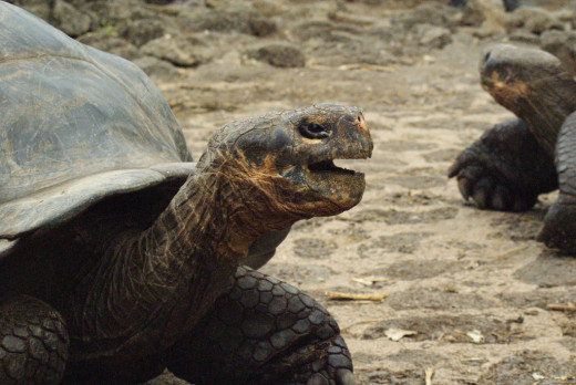 GALAPAGOS TORTOISES AT THE CHARLES DARWIN RESEARCH STATION, SANTA CRUZ, GALAPAGOS ISLANDS