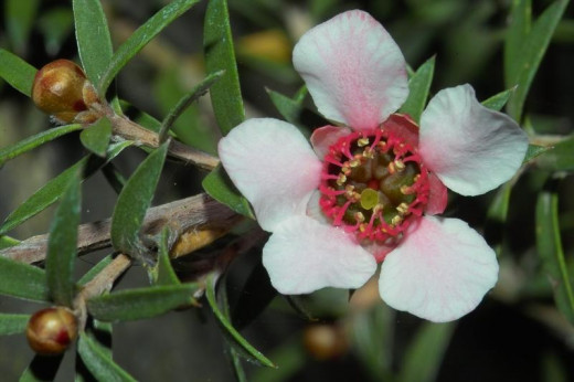 The very special Manuka flower, that has special properties for curing acne, that Bees love
