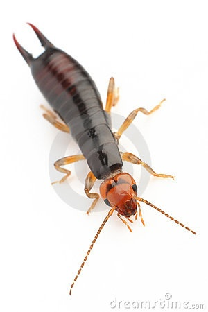 PLEASE TAKE A LOOK AT THE MANY TYPES OF EARWIGS THAT EXIST!