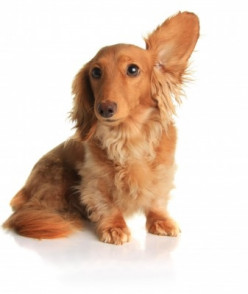 ... get rid of ear mites which affect dogs, cats and other household pets