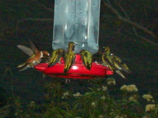 At dusk, the hummingbirds gather in greatest numbers, sometimes sharing drinking holes, with up to 20 birds  on a 10-hole feeder!