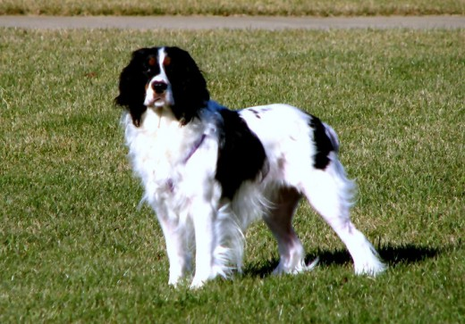 Abby, our English Springer that has passed away.