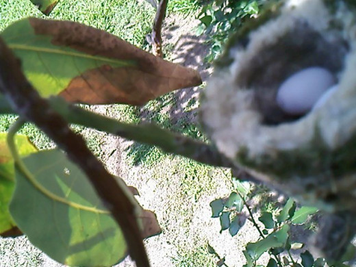 Hummingbird's nest, discovered 22nd of March, 2013.