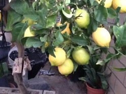 Lemon Tree Very Pretty And The Flower Is So Sweet