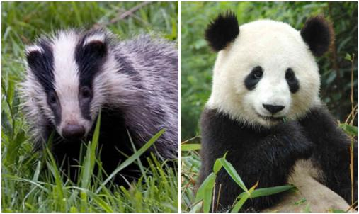 Which creature more closely resembles the newly discovered bat? The badger (above left) or the panda (above right)?