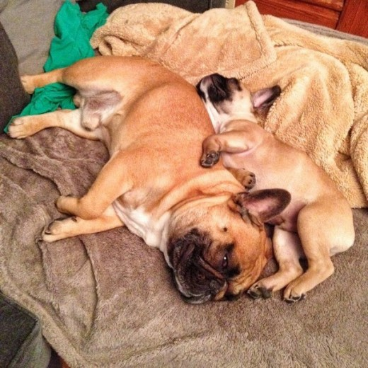 French bulldogs usually do not bark much when sleeping.