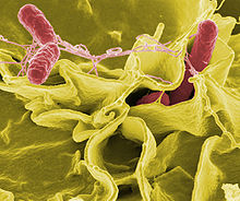The Salmonella bacteria is closely related to E Coli.