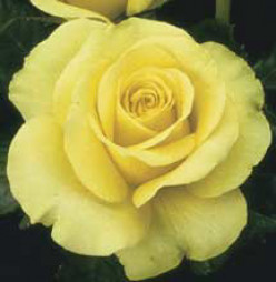 St.Patrick Hybrid Tea Rose