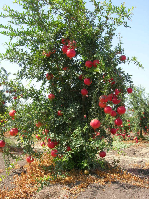 Russian Pomegranate Trees for Sale