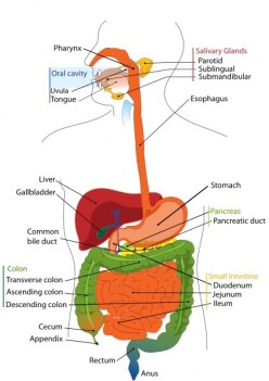 The Omentum and Abdominal Fat - Health Benefits and Problems