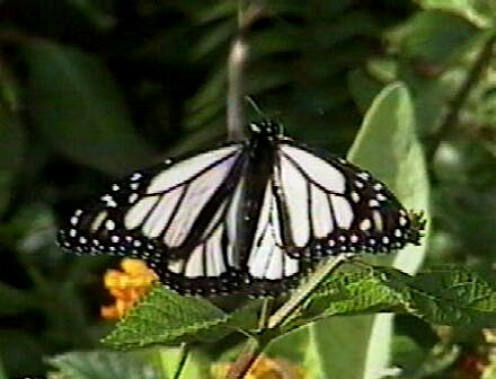 Albino monarch butterfly