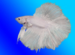 The endless variety in Betta Splendens makes them one of the most sought-after aquarium fish in the world
