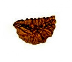 Types of Rudraksha Beads - Popular and Special Rudraksh Varieties