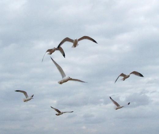 sea gull soar over head.