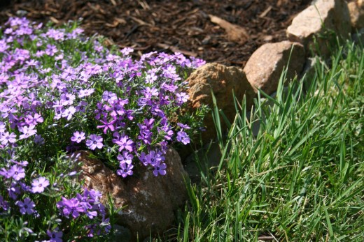 Phlox growing as a border plant.
