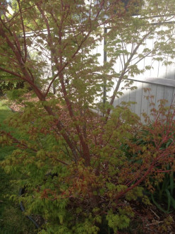 Growing Japanese Maple (Acer palmatum)