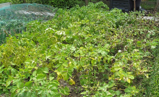 Potatoes infected with Blight