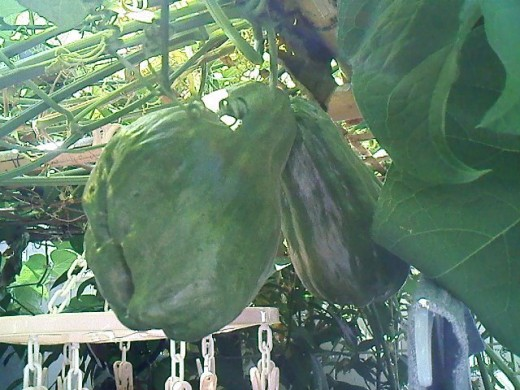 Twin chayote's from last year, 2012. I'd be seeing some more of these this year.