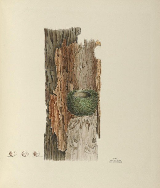 Illustrations of the nest and eggs of the birds of Ohio {1886} The illustration represents a nest and three eggs taken in Northern Ohio in 1865