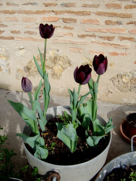 This is the first year I've managed to grow black tulips at our B&B in Limousin - I'm going to enjoy every minute of them.