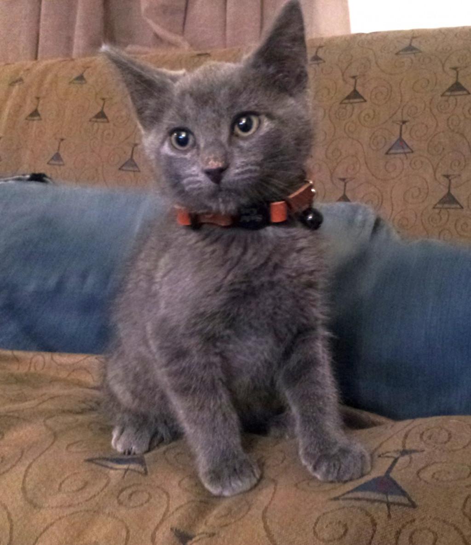 Adopting a Kitten on Long Island, New York: Organizations
