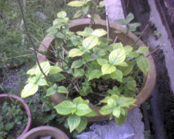 another green yellowish plant that I don't even know the name....