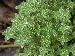 Thyme For Herbs