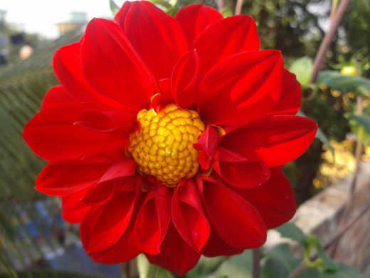Red Single Dahlia