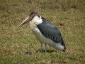 What is a Marabou Stork (Undertaker Bird)?
