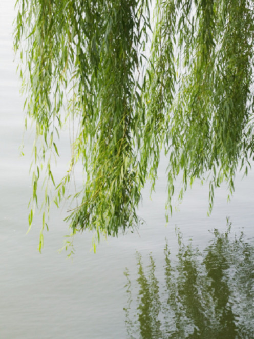 Water  beautifully reflects the weeping boughs of a  willow tree..