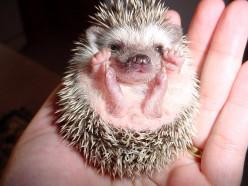 Anybody have a pet hedgehog?