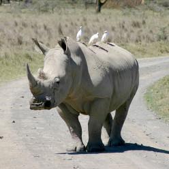Rhino Poaching Crisis