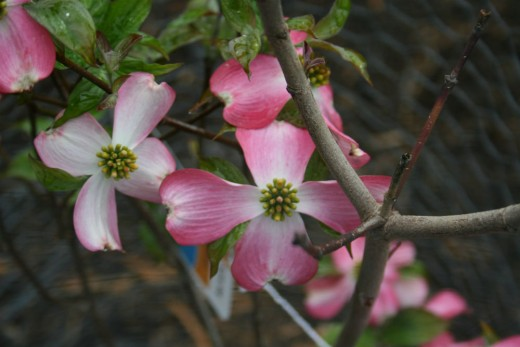 Dogwood berries attract birds.