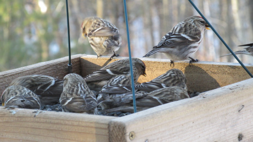 Redpolls in my hanging tray feeder.