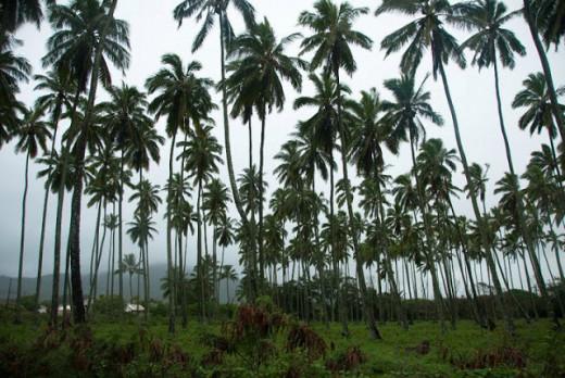 Coconut Plantation, Island of Kaua'i