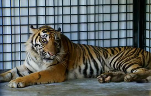 Tiger is the biggest cat in the world