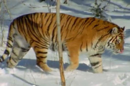 Siberian tiger, an endangered species