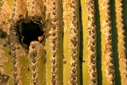 Saguaro spines.