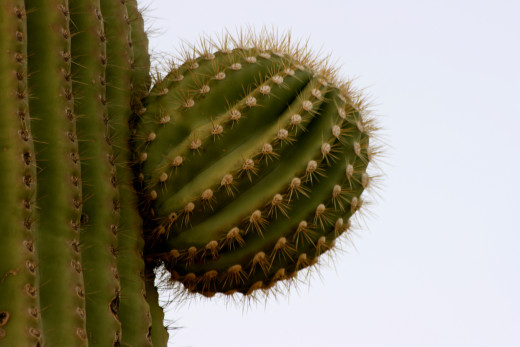 Nascent saguaro limb