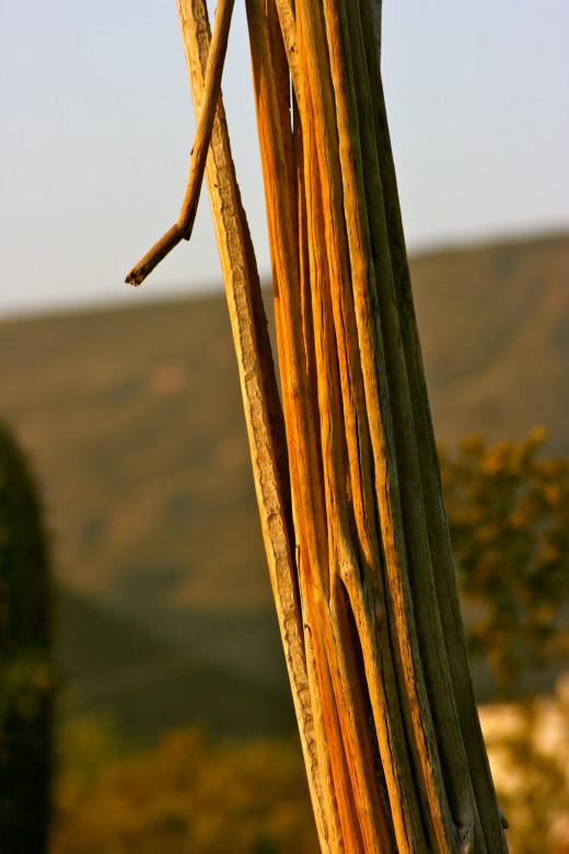 Saguaro skeleton sentinel