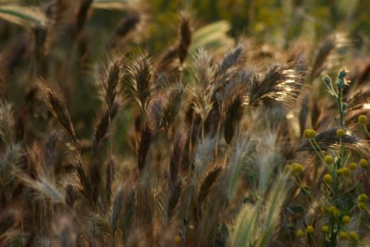 Hare barley rusting in the sun