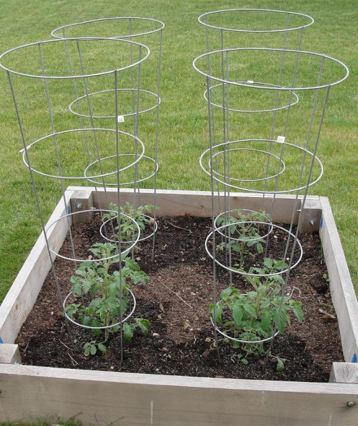 Indeterminate tomatoes will do well in a heavy-duty cage, especially if pruned to 3-5 main vines.