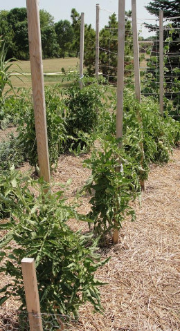 A single 2x2 is a great option for growing indeterminate tomatoes pruned to 1-2 vines.