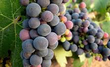 Red Rioja grapes from Spain.