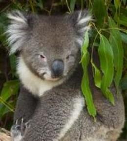 Australia's wombat koala takes a pose for tourists.