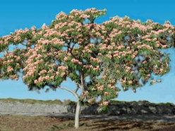 The Legacy of the Mimosa Tree