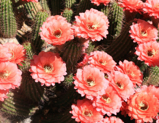 Modified version of the Argentine Cactus.  Blooms prolifically.  A real stunner!!
