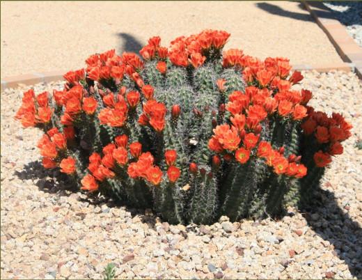 Smaller clumping cactus.