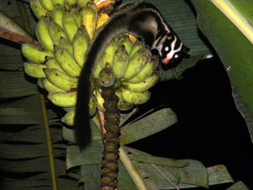 In New Guinea, there are no woodpeckers and the closest equivalent is the sugar glider, which is only able to dig into dead wood.