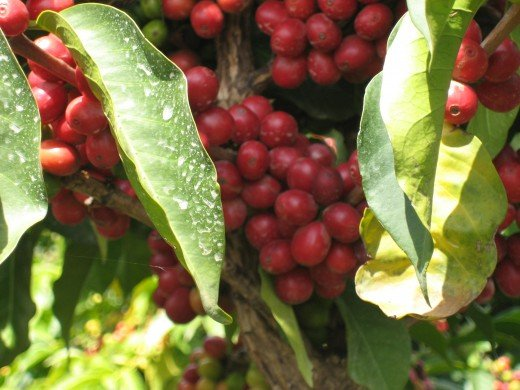 Coffee berries on the coffee tree